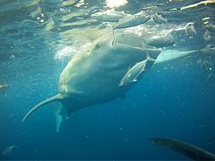 오슬롭 고래상어 투어 + 투말록 폭포